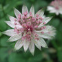 Astrantia 'Buckland' - for Magnadoodle. (Astrantia major (Masterwort))