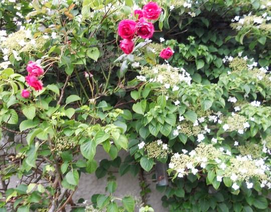 CLIMBING ROSE THROUGH CLIMBING HYDRANGEA