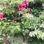 CLIMBING ROSE THROUGH CLIMBING HYDRANGEA
