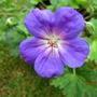 Geranium Rozanne  (Geranium 'Rozanne')