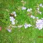 Geranium pratense Mrs Kendall Clark  (Geranium pratense 'Mrs Kendall Clark')