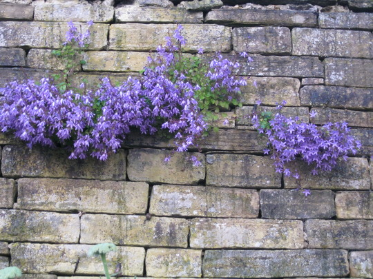 Self seeded Campanula..