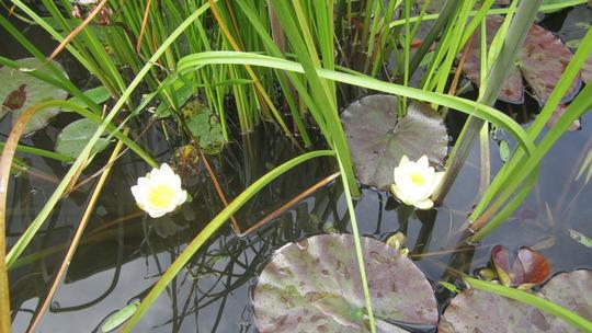 White water lillies (Nymphaea alba (Nenufar Blanco))