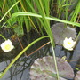 White water lillies (Nymphaea alba (Nenufar Blanco))