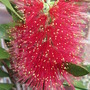 Bottle brush (Callistemon citrinus (Bottle brush))