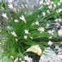 Alliummairei.jpg
