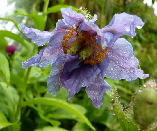 Double Act (Meconopsis betonicifolia (Himalayan blue poppy))
