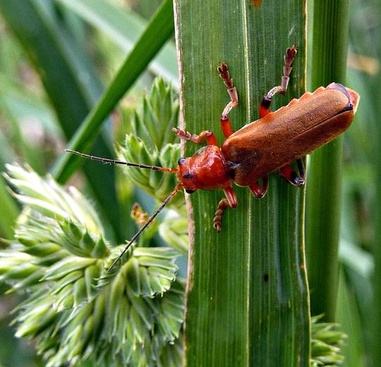 Brown longhorn beetle.