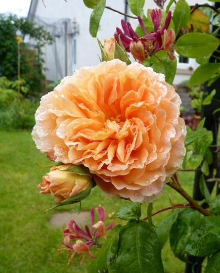 Rosa 'Crown Princess Margareta' climbing and Honeysuckle 'Gold Flame'