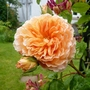 Rosa 'Crown Princess Margareta' climbing and Honeysuckle 'Gold Flame' (Rosa)