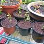 Firethorn Pyrocanthus