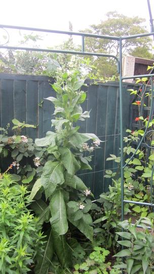 Didn't realise this Verbascum grew so tall...