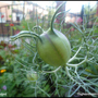 Nigella Seedpod