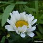 Shasta_daisy