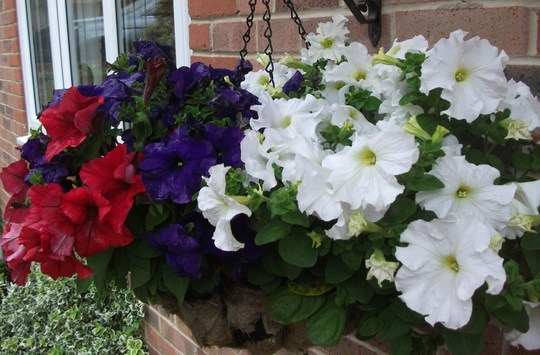 Red White and Blue Basket no I (Petunia single)
