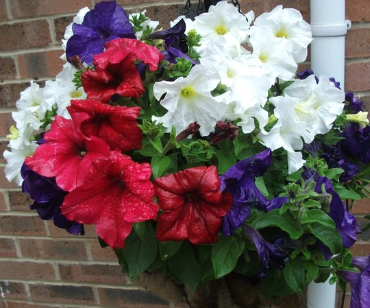 Red White and Blue Basket no 2 (Petunia single)