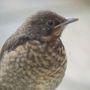 Baby thrush? or blackbird