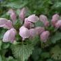 Lamium maculatum 'Marshmallow' (Lamium maculatum)