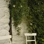 White clematis montana