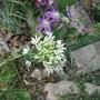 Alliumpamiricum.jpg