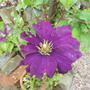 Clematis for Cinders
