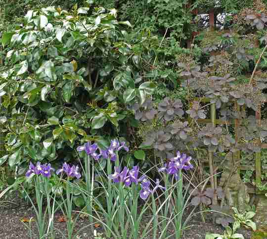Camellia, Smoke Bush (Cotinus) and Dutch Iris Blue Magic