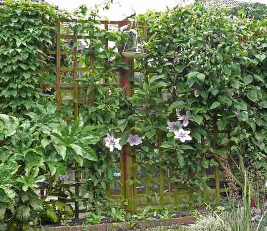 Clematis wall