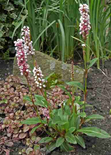 Persicaria affinis -  Donald Lowndes