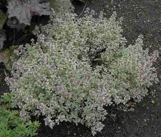 Thymus variegata