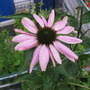 Echinacea (Echinacea purpurea (Coneflower))