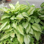 REALLY MASSIVE HOSTA