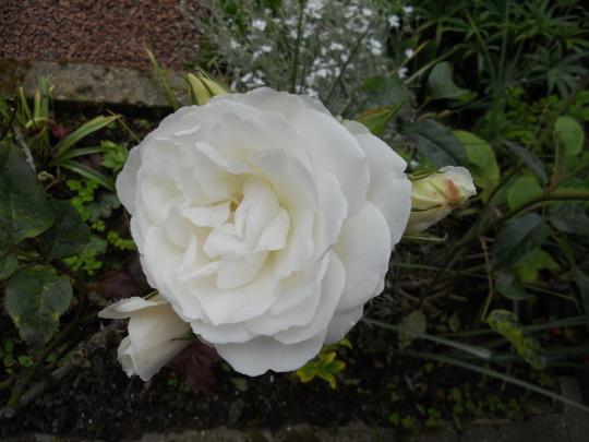 THORNLESS WHITE ROSE