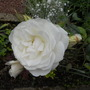 THORNLESS WHITE ROSE