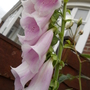 YET ANOTHER 'FREE' FOXGLOVE