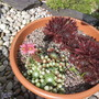 Sempervivum - House Leeks (Saxifragales sempervivum)