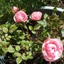 Unknown patio rose in Mothers day planter last year, bloomed non stop and is doing the same this year.