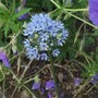 Allium Caeruleum 'Blue Drumstick' (Allium Caeruleum Blue Drumstick)