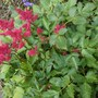Astilbe Arendsii, for my records  (Astilbe arendsii (Astilbe Colour Magic))
