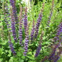 Salvia 'Rhapsody in Blue' (Salvia 'Rhapsody in Blue')