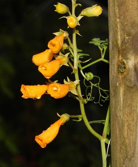 Eccropmocrpus scaber (Eccremocarpus scaber (Chilean glory flower))