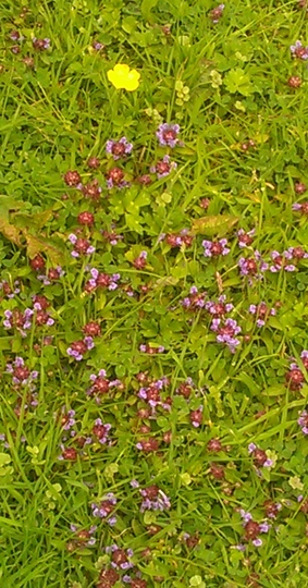 growing in my frends grass .. wot is it .. prev pic enlarge .