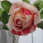 New rose Scent-sation