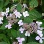 Hydrangea_serrata_bluebird_2012