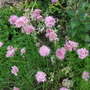 Alliumsaxatile.jpg