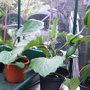 Aubergine in the greenhouse