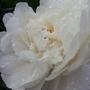 White paeony (Paeonia lactiflora)