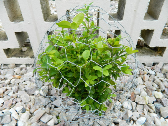 Chicken Wire 'ball' to help encourage box plants to grow into a ball shape...Given time