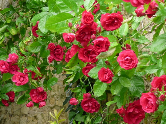 Paul's Scarlet (Rosa)