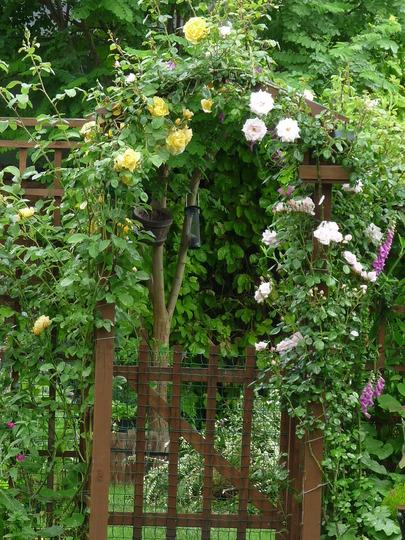 Rose arch (Rosa)
