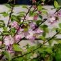 Prunus triloba (Prunus triloba)
